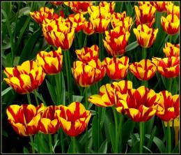 Helmar Tulips in Keukenhof Garden