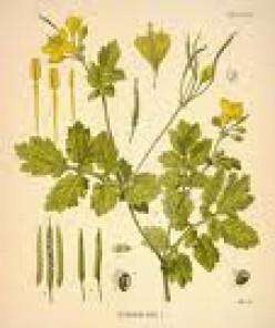 Lesser Celandine :: Birthday Flower - May 6 :: Ranunculus ficaria :: Pilewort