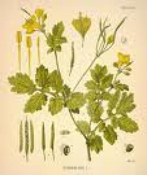 Ranunculus ficaria (synonym Ficaria verna)