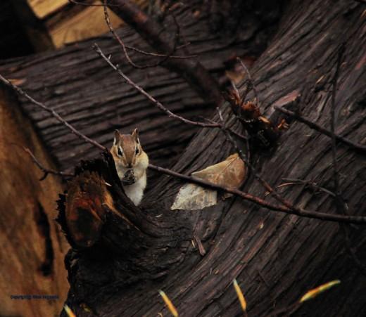 A chipmunk rests on cedar logs munching on a nut.