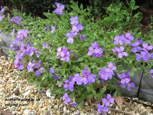 Photo: aubretia flowers used as an edging plant.