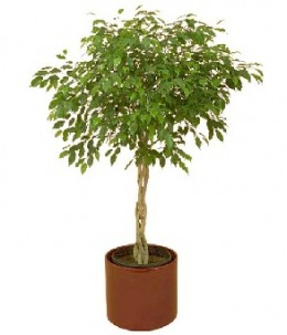 A potted ficus tree. (Credit: Wikimedia)