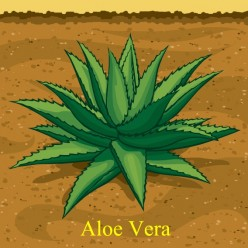 Where Does Aloe Come From?