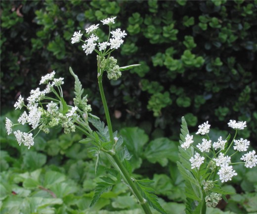 Cow parsley in flower is an attractive plant. photograph courtesy of Rasbak