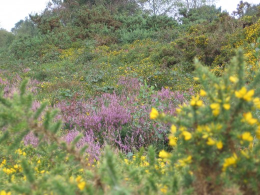 The beautiful heathland