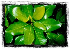 Magnolia-opus 3