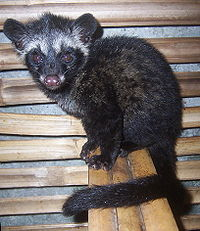 "young asian palm civet which is locally called ""luwak"" in Indonesia and ""alamid"" or musang in the Philippines"