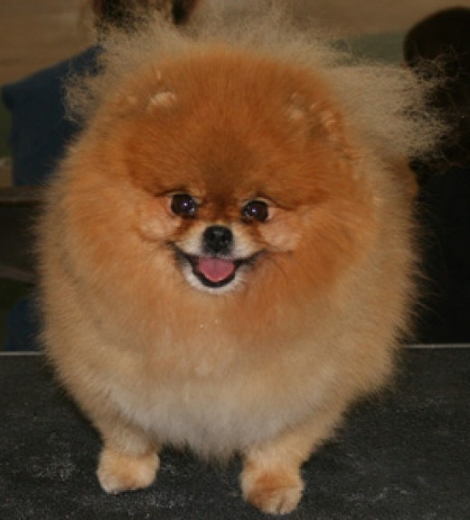Pomeranian's make great pets