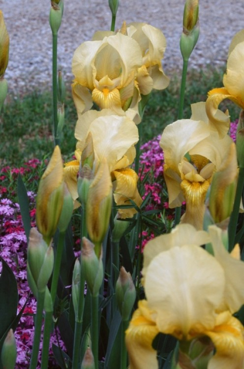 Yellow Iris Buds And Blooms