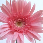 pinkdaisy profile image