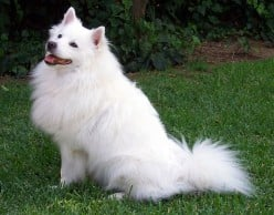 The famous American Eskimo Dog