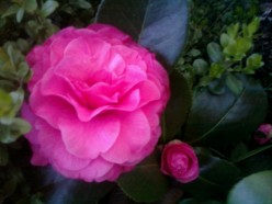 Camellia:  Japanese Rose Up Close with Folklore of Calyx Unraveled