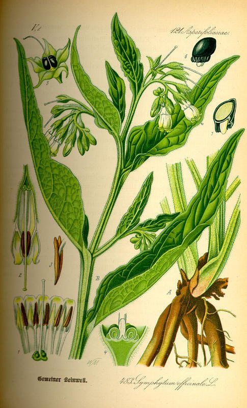 COMPONENTS OF COMMON COMFREY-COURTESY OF KURT STUEBER