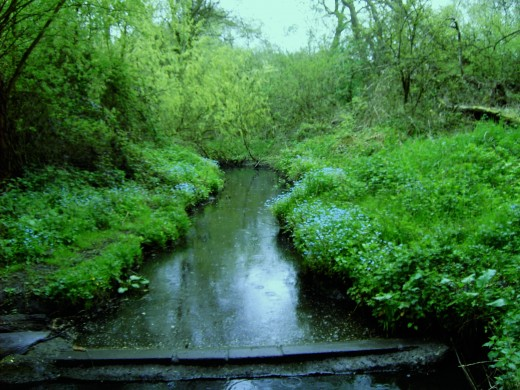 For-get-me nots, seen here growing along the banks of a stream are related to the comfrey.Photograph by D.A.L.