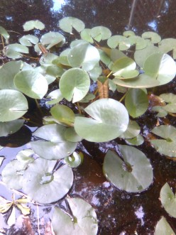 Pond @ Lily Pads