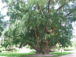 Ginkgo biloba in the Jardin Botanique de Tours