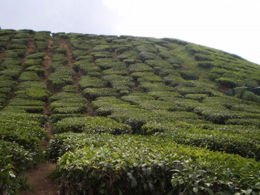 Breathe in the fresh air as you walk in the Tea Plantation in Cameron Highlands, Malaysia.
