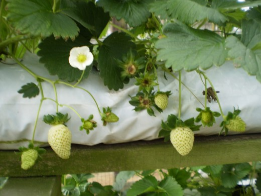 Unripe strawberries at a strawberry farm in Cameron Highlands.