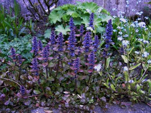 Bugle in full flower.Showing the purplish coloured foliage Photograph by D.A.L.