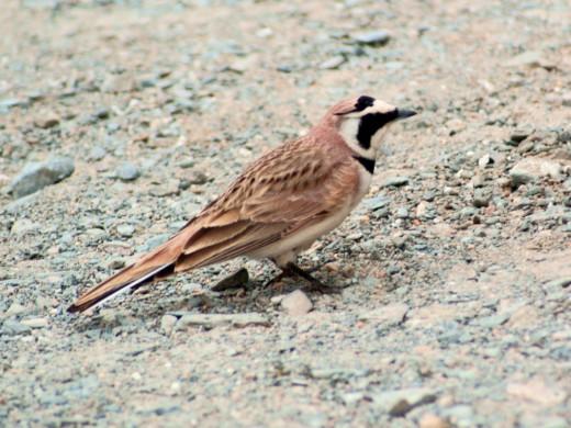 A bird seen near the bank of Pangong lake