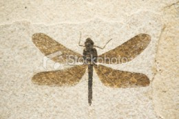 Ancient dragonflies were huge compared to today's standard, but were otherwise identical.