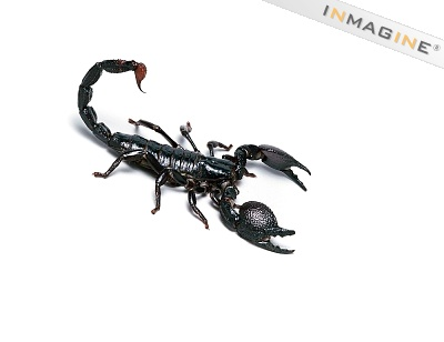 The modern scorpion differs from its distant relative in that it lives completely on land.