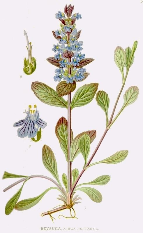Illustration of the common bugle -courtesy of Kurt Steuber.