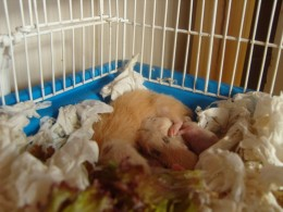 Litter of baby hamsters with mother