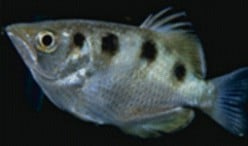 Archerfish Hunts and Kills it Land-based Prey with Deadly Aim