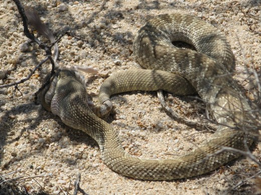 Snakes stay in the shade on hot days. This Mojave Green appears to be eating a rodent of some sort.