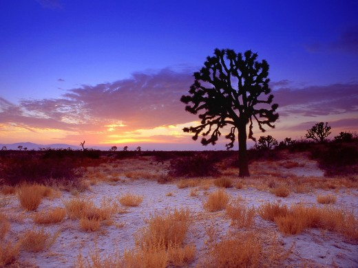 Joshua Tree Wallpaper.  Many Mojave Greens are sighted here.