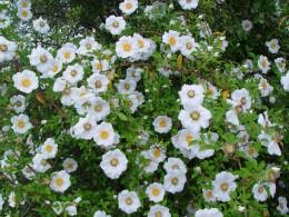 A bush of Cherokee Roses.
