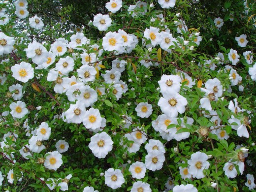 A bush of Cherokee Roses.