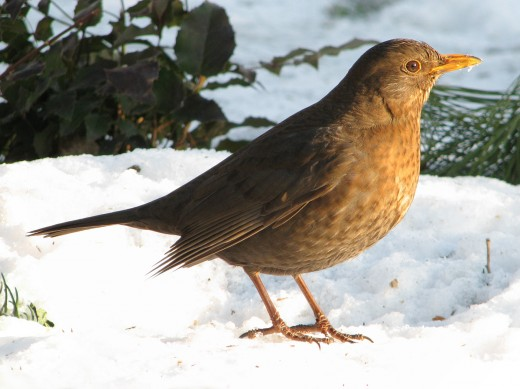Female blackbird.Photograph courtesy of Darkone