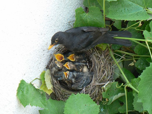 blackbird at nest with young. Photograph courtesy of Nugatto