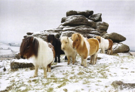 Dartmoor Ponies in winter.