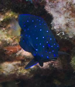 Young yellow-tail dameselfish