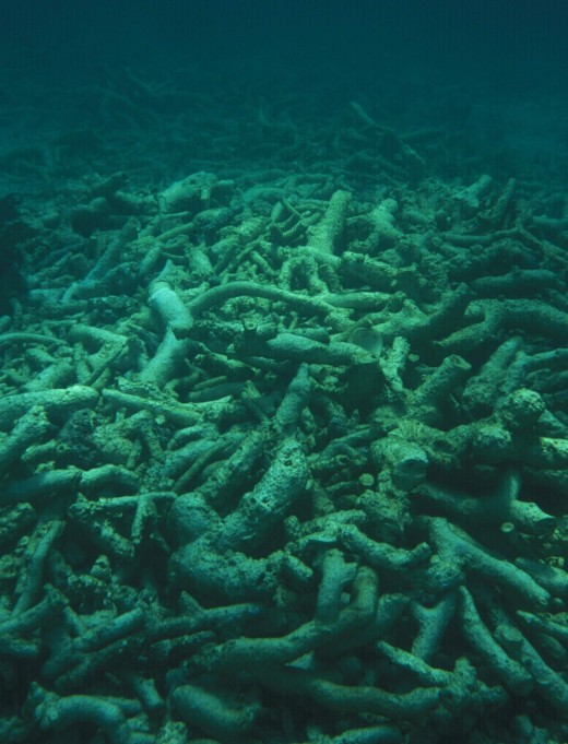 Dead corals in the Caribbean