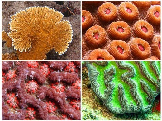 Live corals found in Caribbean waters
