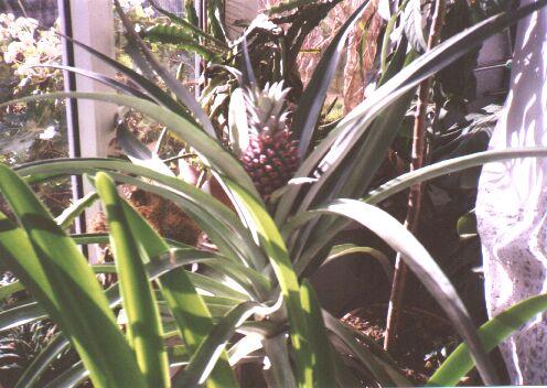 Pineapple in windowsill