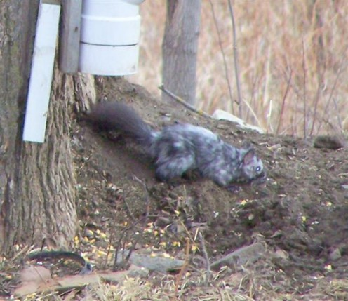 Funny Looking Gray Squirrel