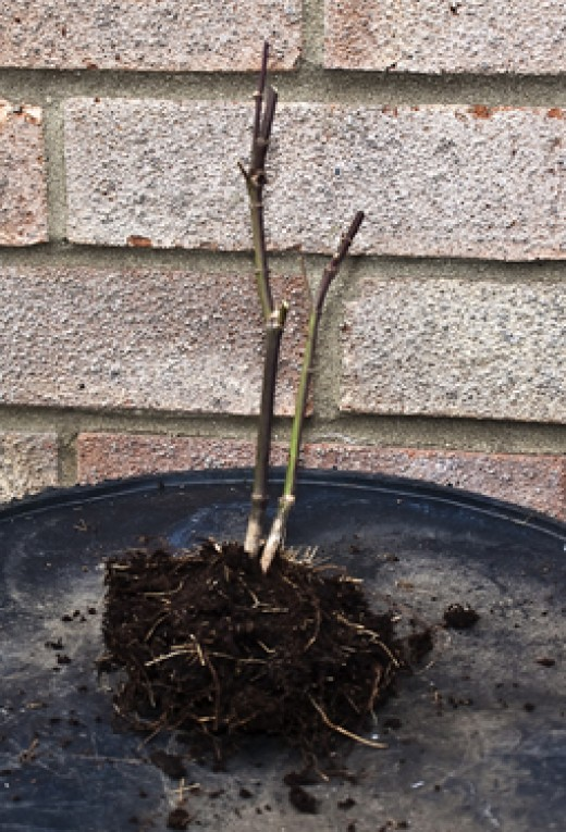 All the straggly roots trimmed and the top pruned, leaving plenty of buds to develop and choose.