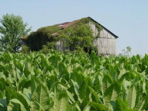 Kentucky tobacco field.
