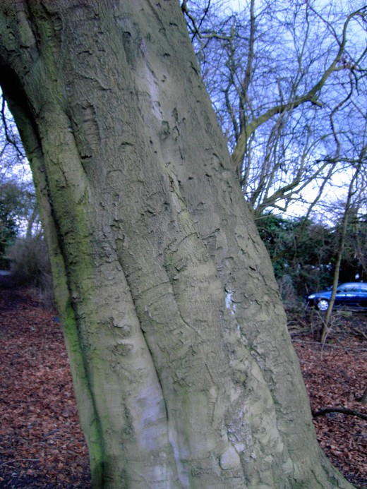 The unmistakeable trunk of the beech tree. Photograph by D.A.L.