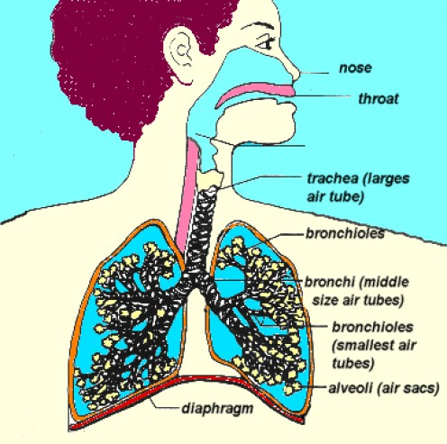 This is a photo of the lungs having a asthma attack.