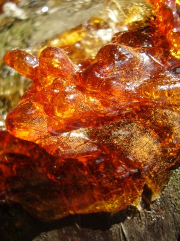 Dried resin.  To think, in 20 million years, this will turn into amber, and then you can have amber earrings!