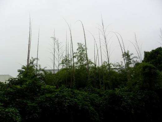 New bamboo reaching for the sky