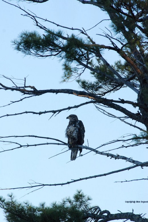 An immature eagle watched me as I grilled chicken at the beach.