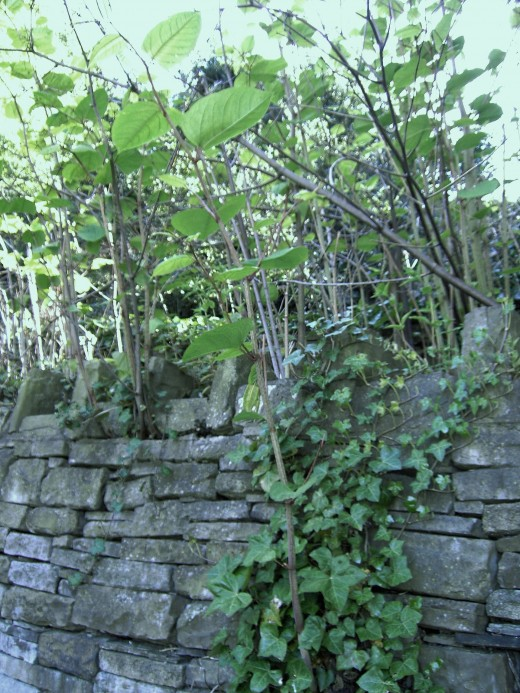 Stone walls are no obstacle to the Japanese knotweed.Photograph by D.A.L.