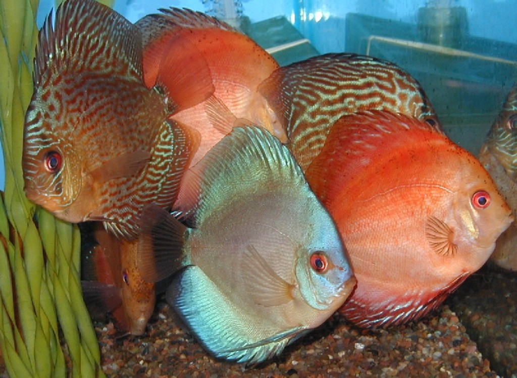 How i set up my first discus fish tank aquarium hubpages for Discus fish food